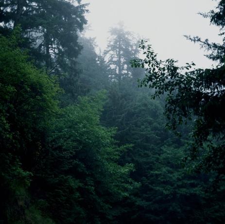 Fog Trees, Oregon Coast