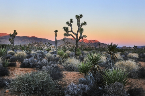 Joshua Tree Sunrise II