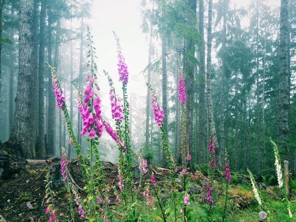 Wild Foxglove