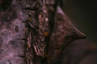 Macro Thorn II